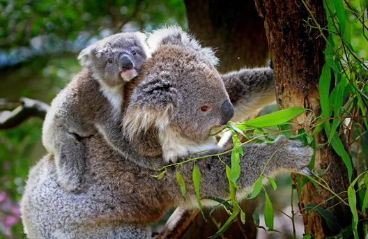 This picture shows a koala bear in a tree